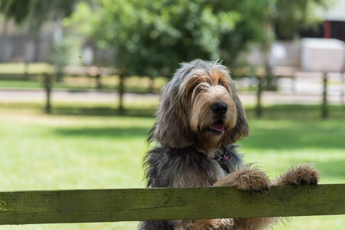 Otterhound standing in field with paws on fence