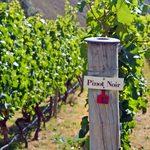 Organic Grape Crop Varieties