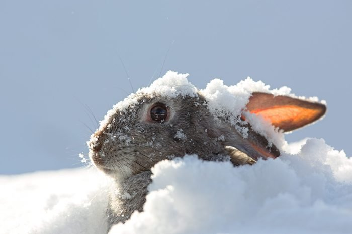 snow rabbit, hare winter