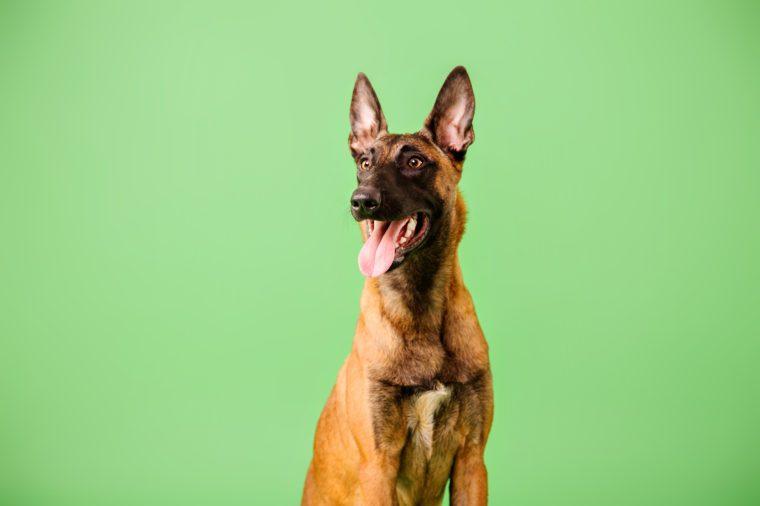 The Belgian Shepherd, The Malinois dog on green background