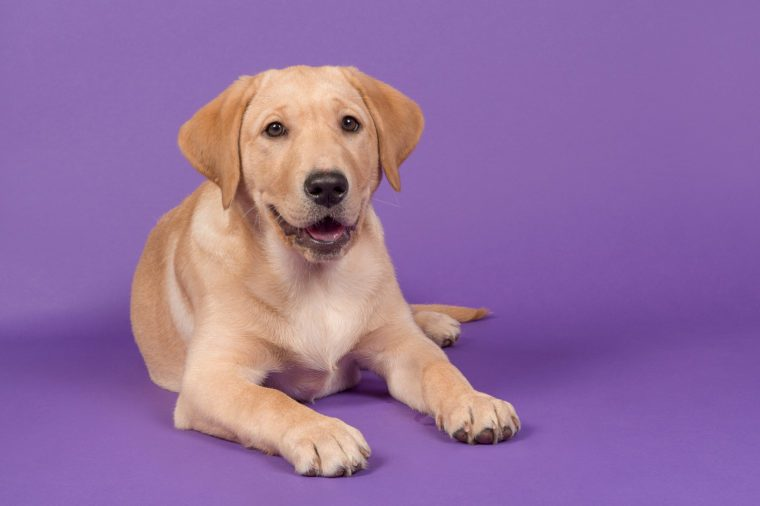Blond labrador retriever lying down looking at the camera with open mouth on a purple background