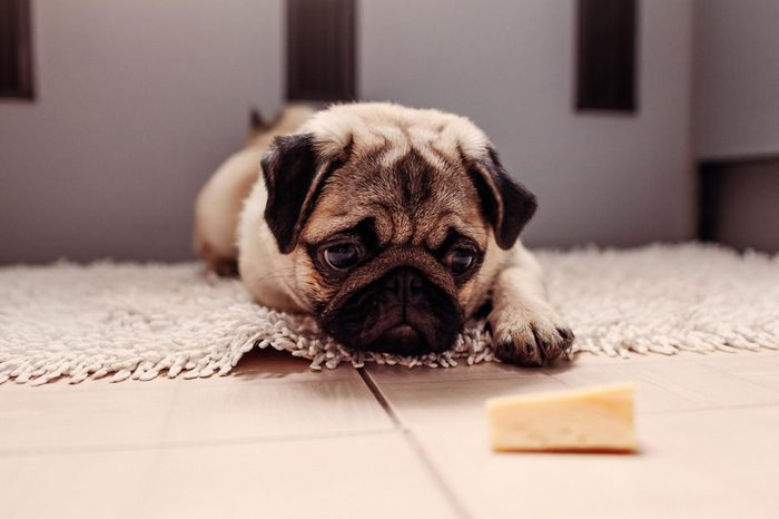 Pug dog waiting for a permission to eat cheese on the kitchen.