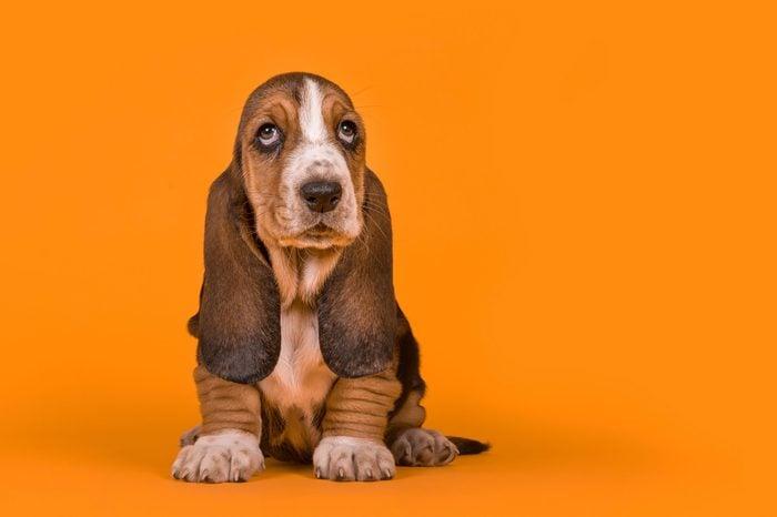 Adorable basset hound puppy dog sitting on an orange background