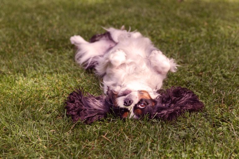 Happy dog lying upside down and fooling around on the grass