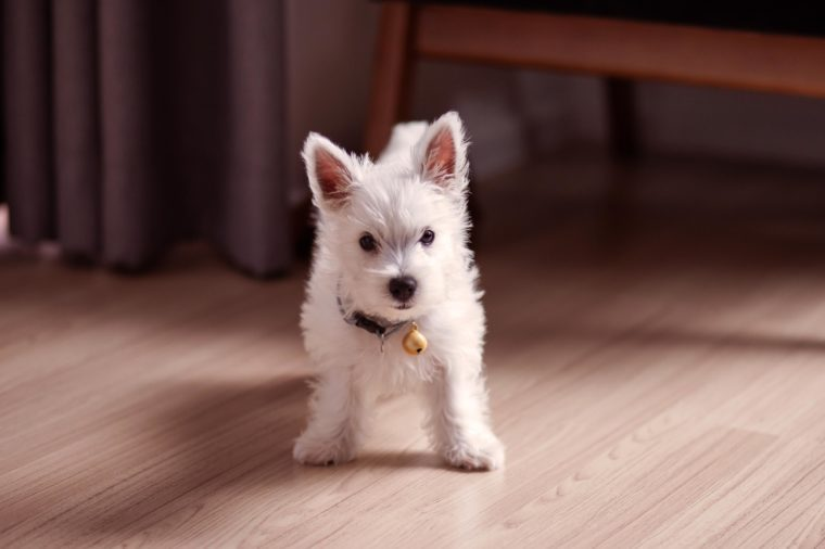 A Westie Puppy, Standing on a Wooden Floor