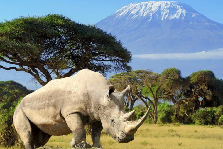 Rhino in front of Kilimanjaro mountain - Amboseli national park Kenya