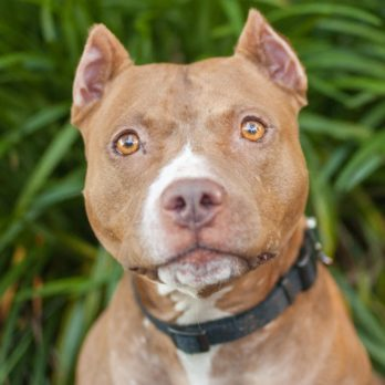 """10 Pit Bull """"Facts"""" That Are Totally Wrong"""