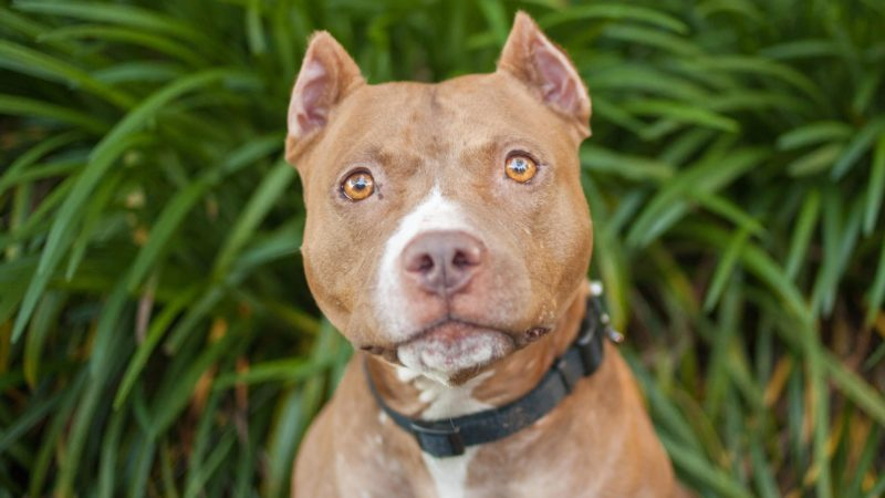 Fawn colored pit bull dog looks at the camera outside