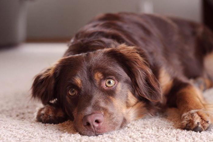 Dog Awakened from Nap on Floor