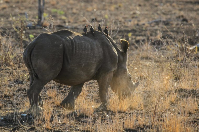 Young rhino calf running away in the dusty ground at sunrise