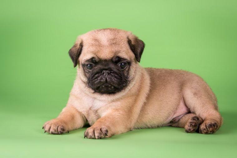 pug puppy on bright green background