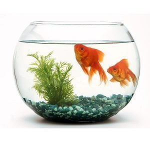 This Is What Happens When You Flush a Goldfish Down the Toilet (Hint: Don't Do It)