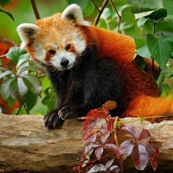 How Many Red Pandas Are Left in the Wild?