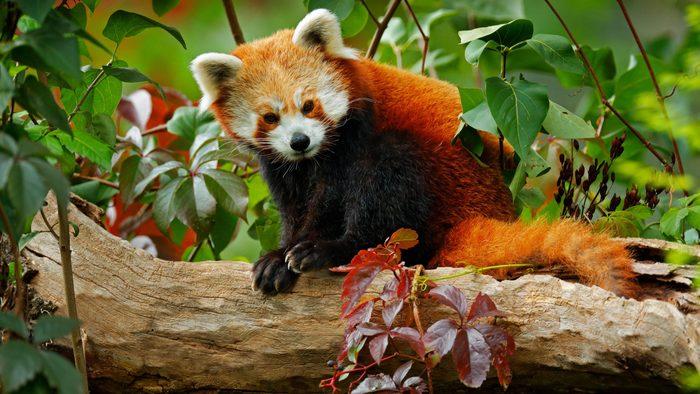 Beautiful Red panda