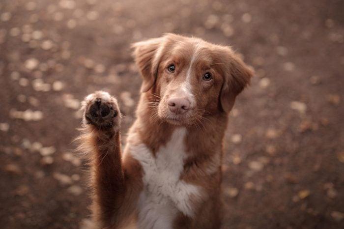 cute red dog waving paw. Breed New Scotland Retriever. Autumn