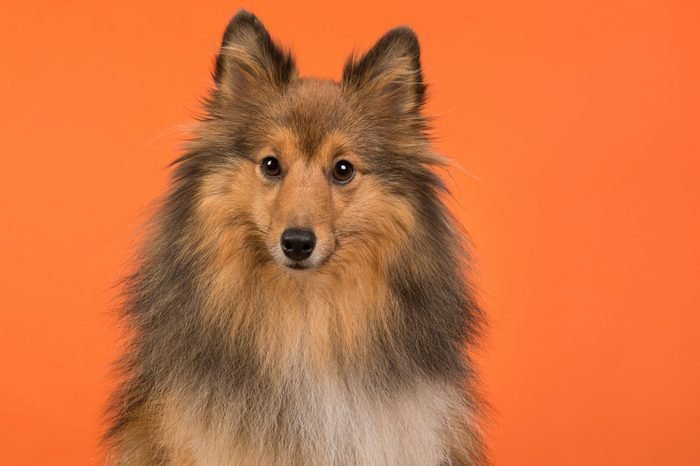 Shetland sheepdog portait on an orange background