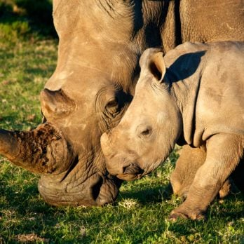 This Is How Many Rhinos Are Left in the World