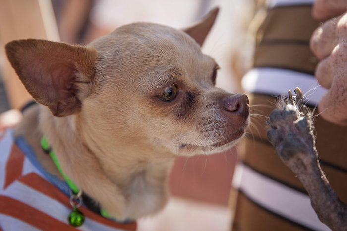 Ugly dog smeagle