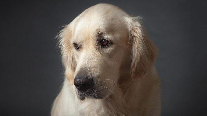 Bit sad looking but cute Golden Retriever