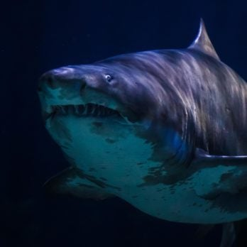 Do Sharks Really Smell Blood?