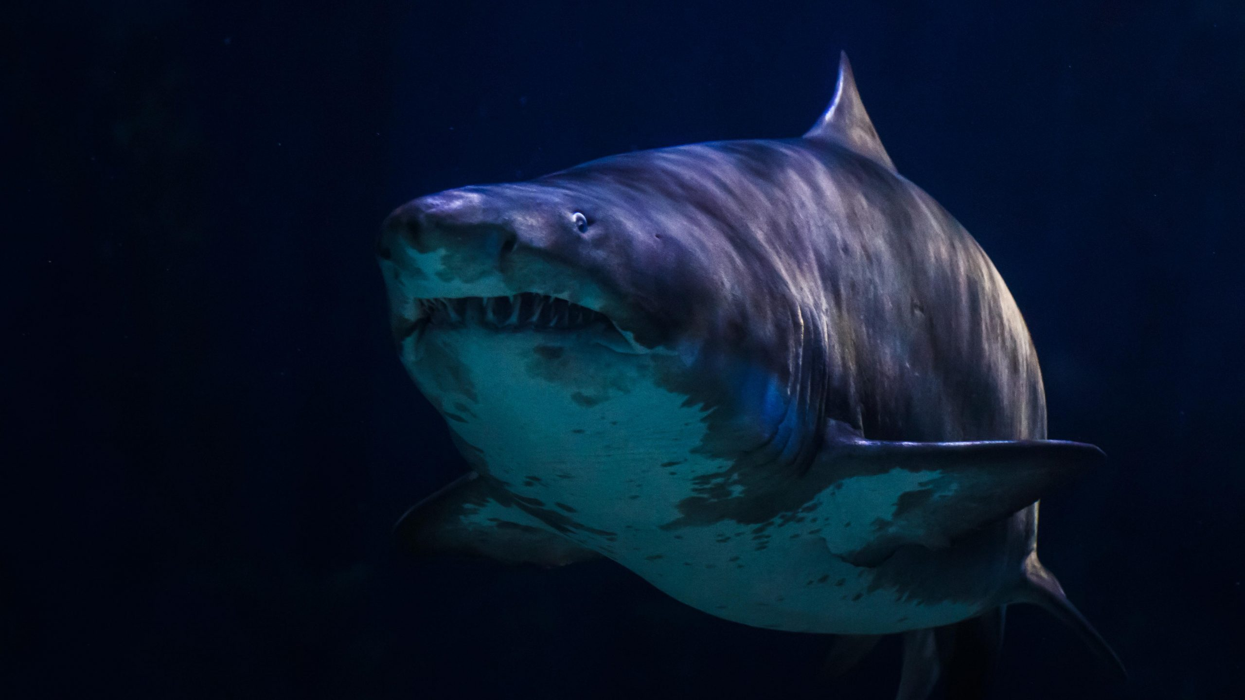 Great white shark in underwater life sea is dark or black on background