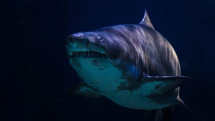 Great white shark in underwater life sea is dark or black on background