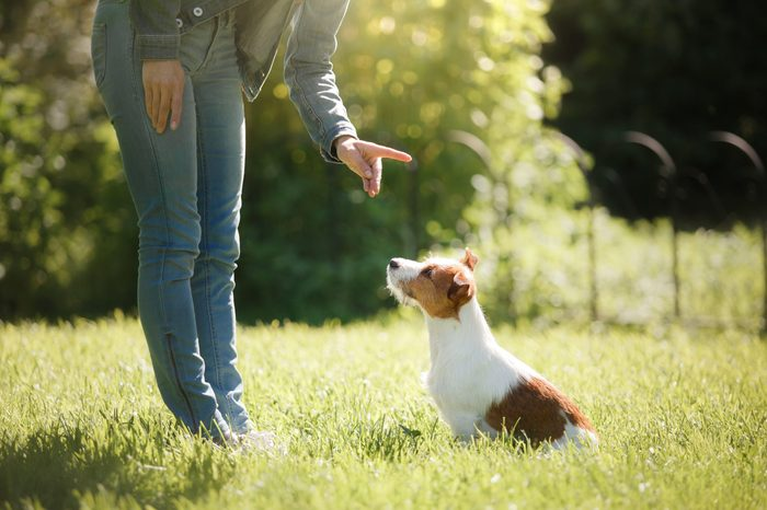 girl to train a small dog. People with a pet together. Funny and clever Jack Russell Terrier