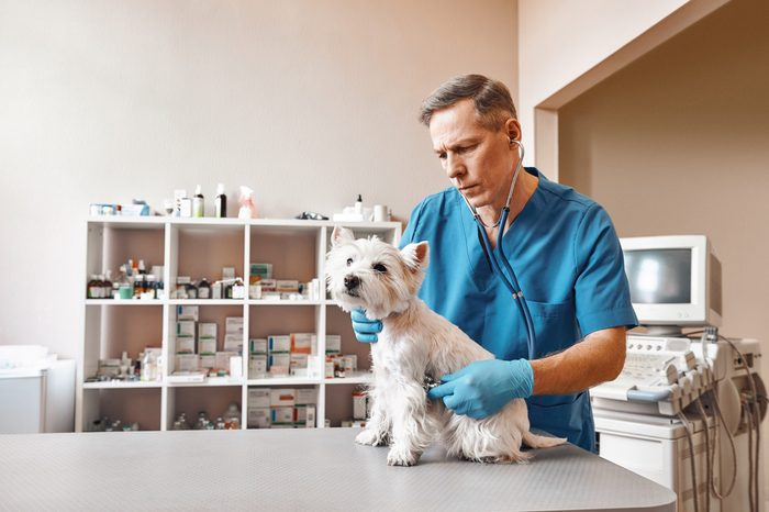 Full check up. Male veterinarian in work uniform listening to the breath of a small cute dog with a phonendoscope in veterinary clinic.