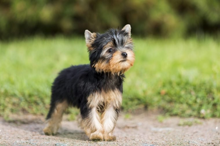 puppy Yorkshire Terrier in the Park