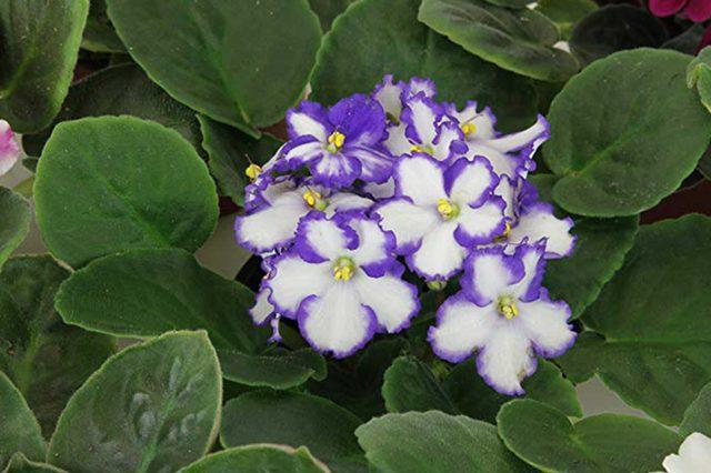 08_Hyacinth