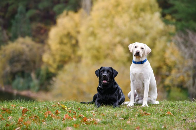 Two labrador dogs on the meadow