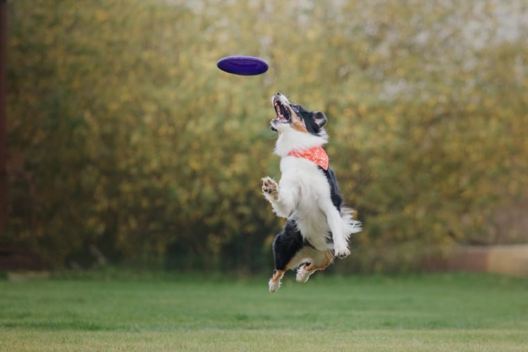 The Australian Shepherd Aussie dog catches a flying disc