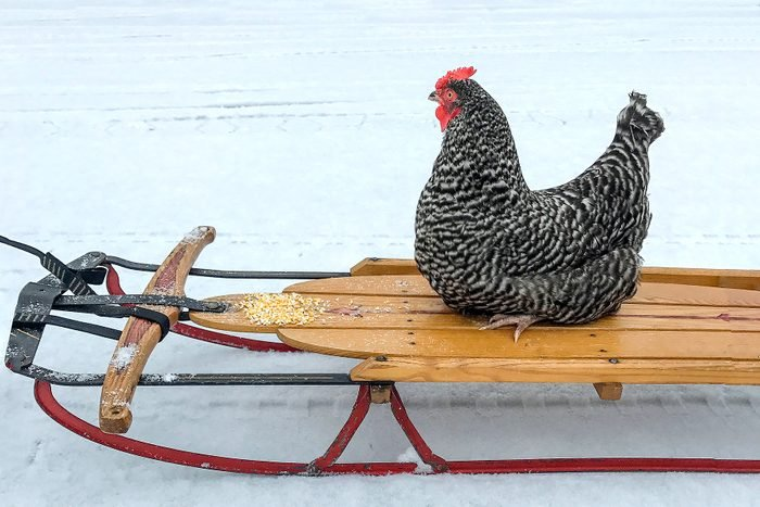 a chicken sits and rides across the snowy ground on a wooden sled
