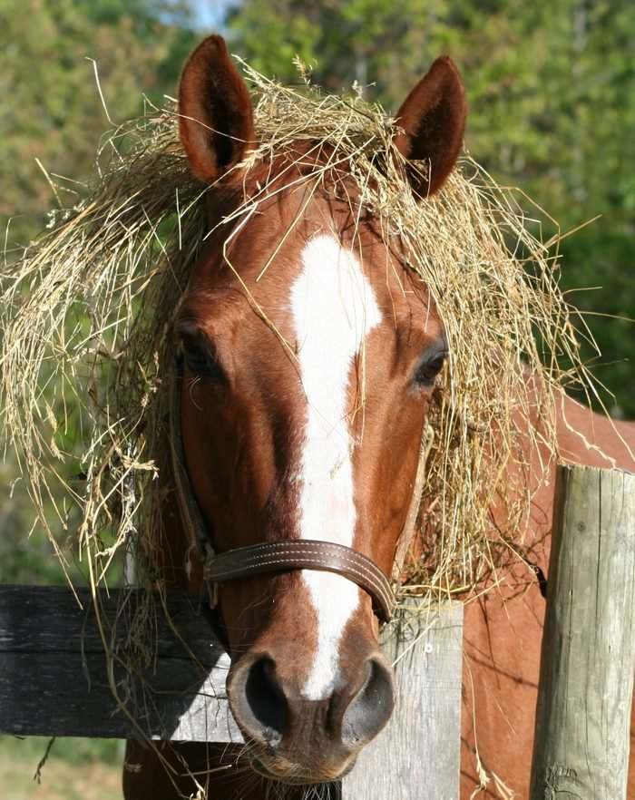 horse with hay around his head like a wig