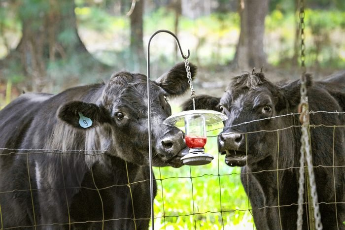 two cows trying to drink out of a hummingbird feeder