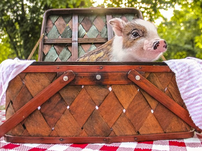 a small pigs pops out of a picnic basket