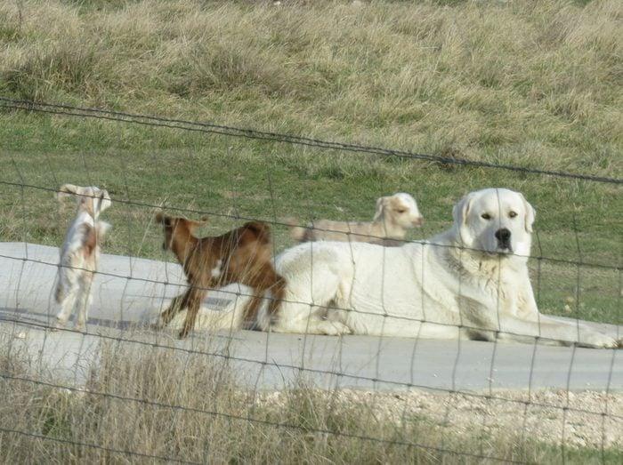 a dog lays down while three baby goats run around him
