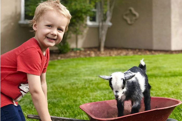 young boy pulling a baby goat in a wheelbarrow