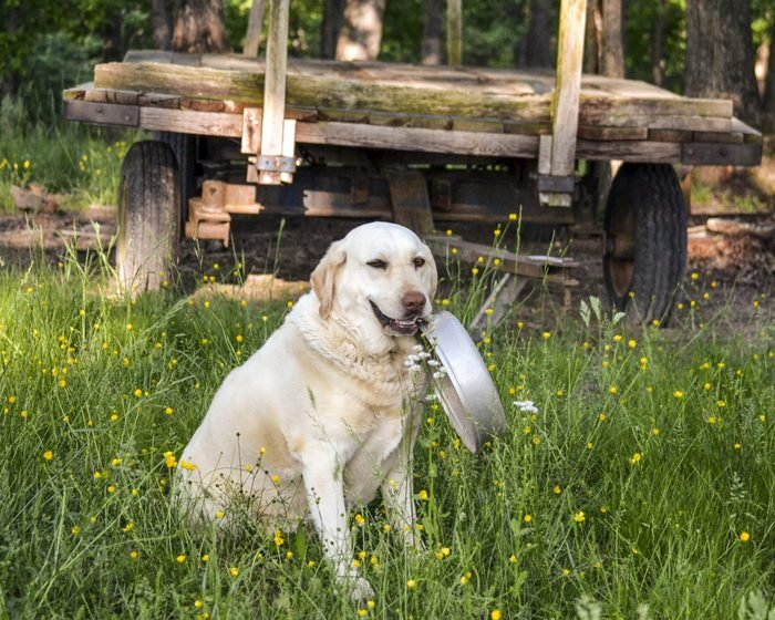 a dog holds his food dish sitting in the grass