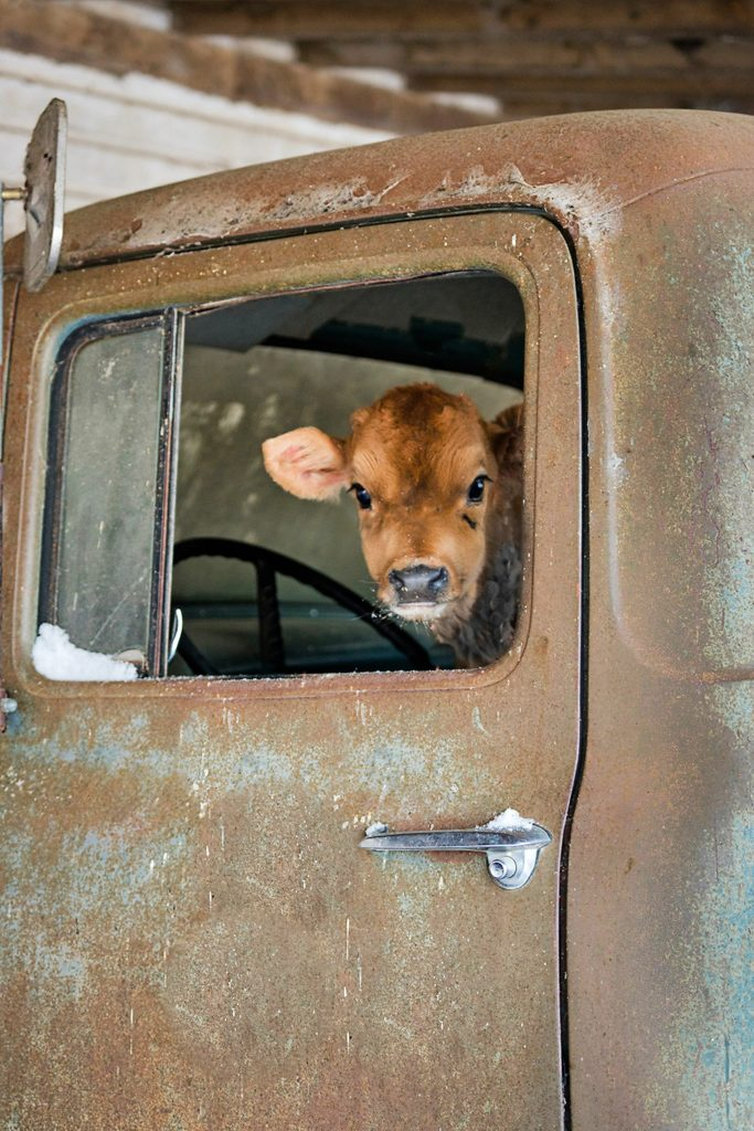 a small cow looks out the window from the cab of an old truck