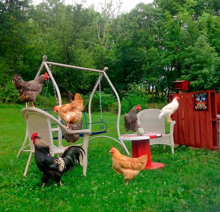 six chickens on outdoor furniture in a grassy yard