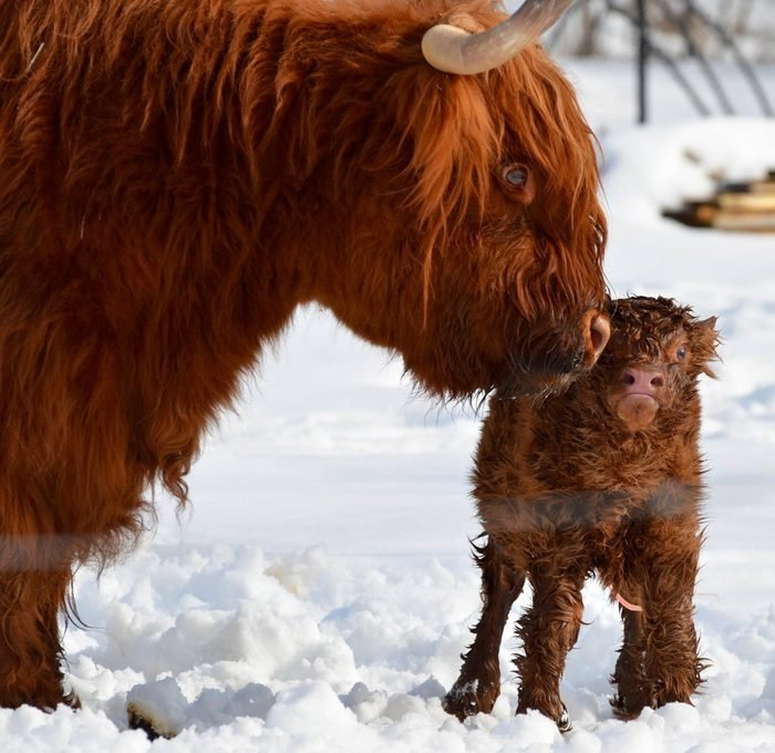 Scottish Highlander cow and calf nuzzle in the snow