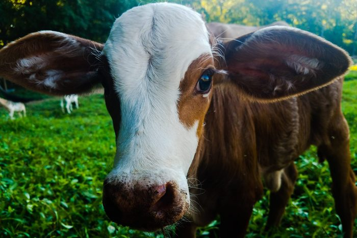 young cow close up with big ears