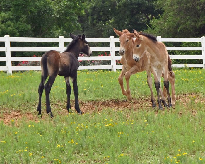 mule colts playing in a grassy enclosure
