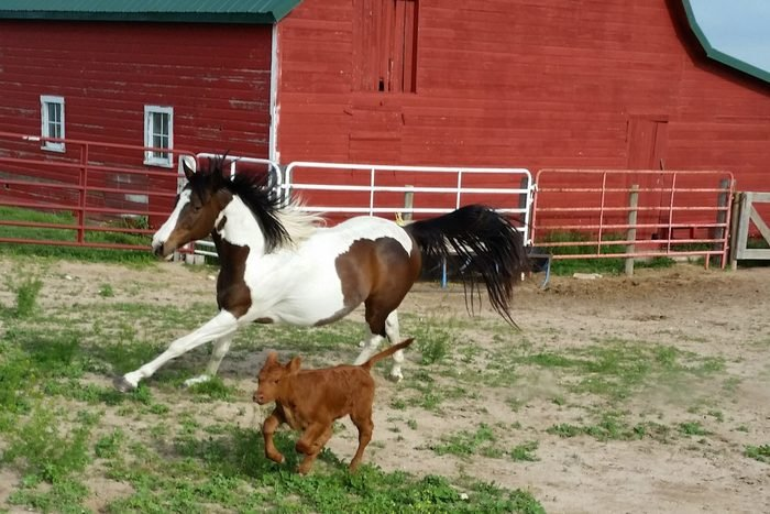 horse and small calf run together in an encolsure on a farm