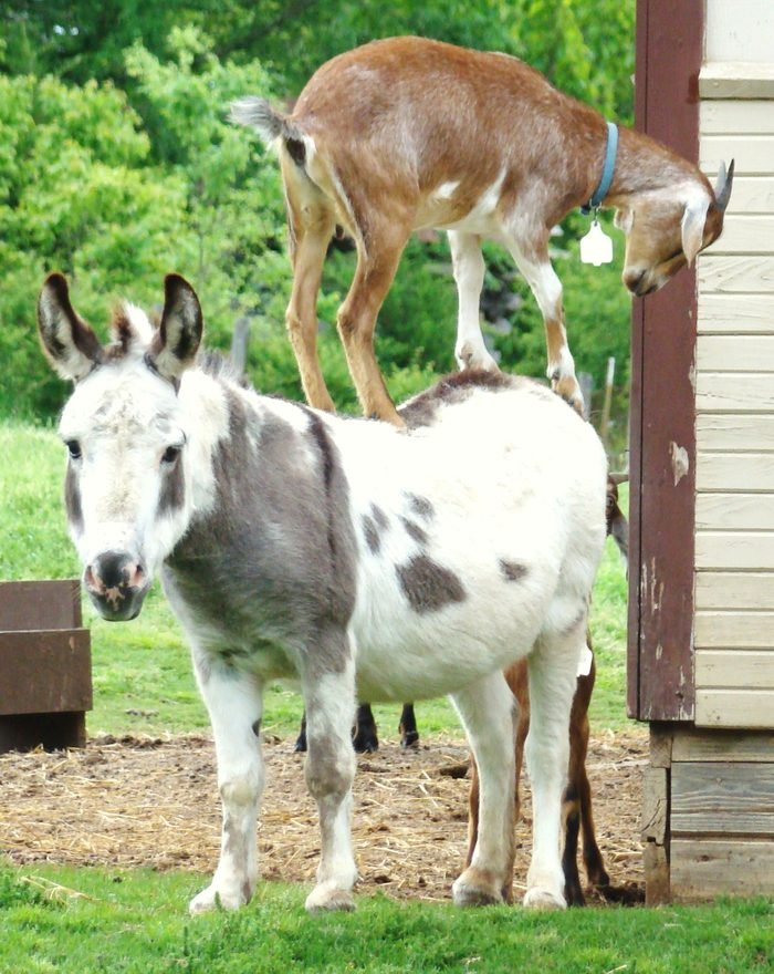miniature donkey standing with a goat standing on his back