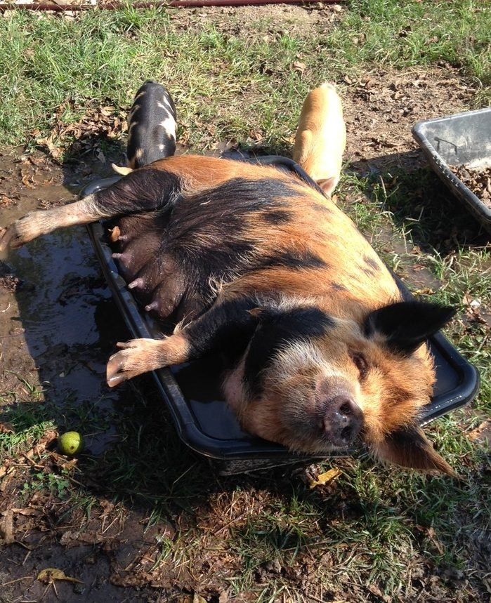 pig lays in a pool of water with two piglets nearby