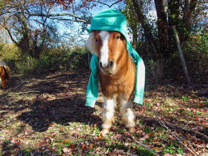 miniature horse wearing a teal hoodie; hood on his head, sleeves draping around his shoulders