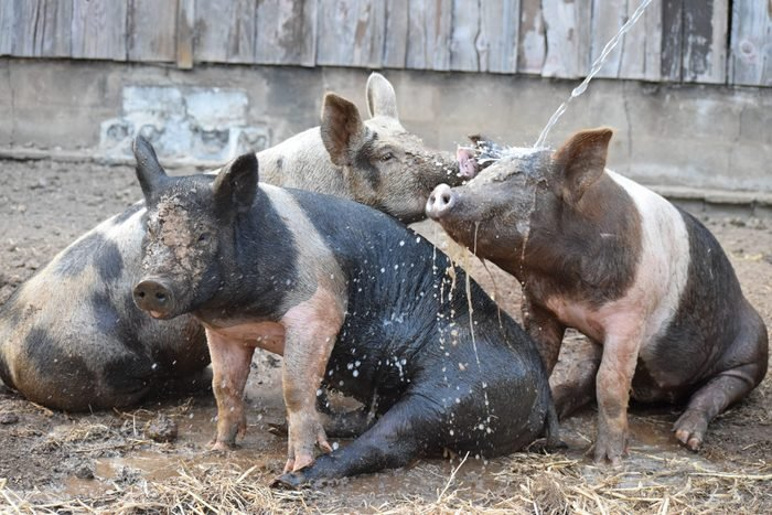 three pigs enjoy the mud and a spring of water