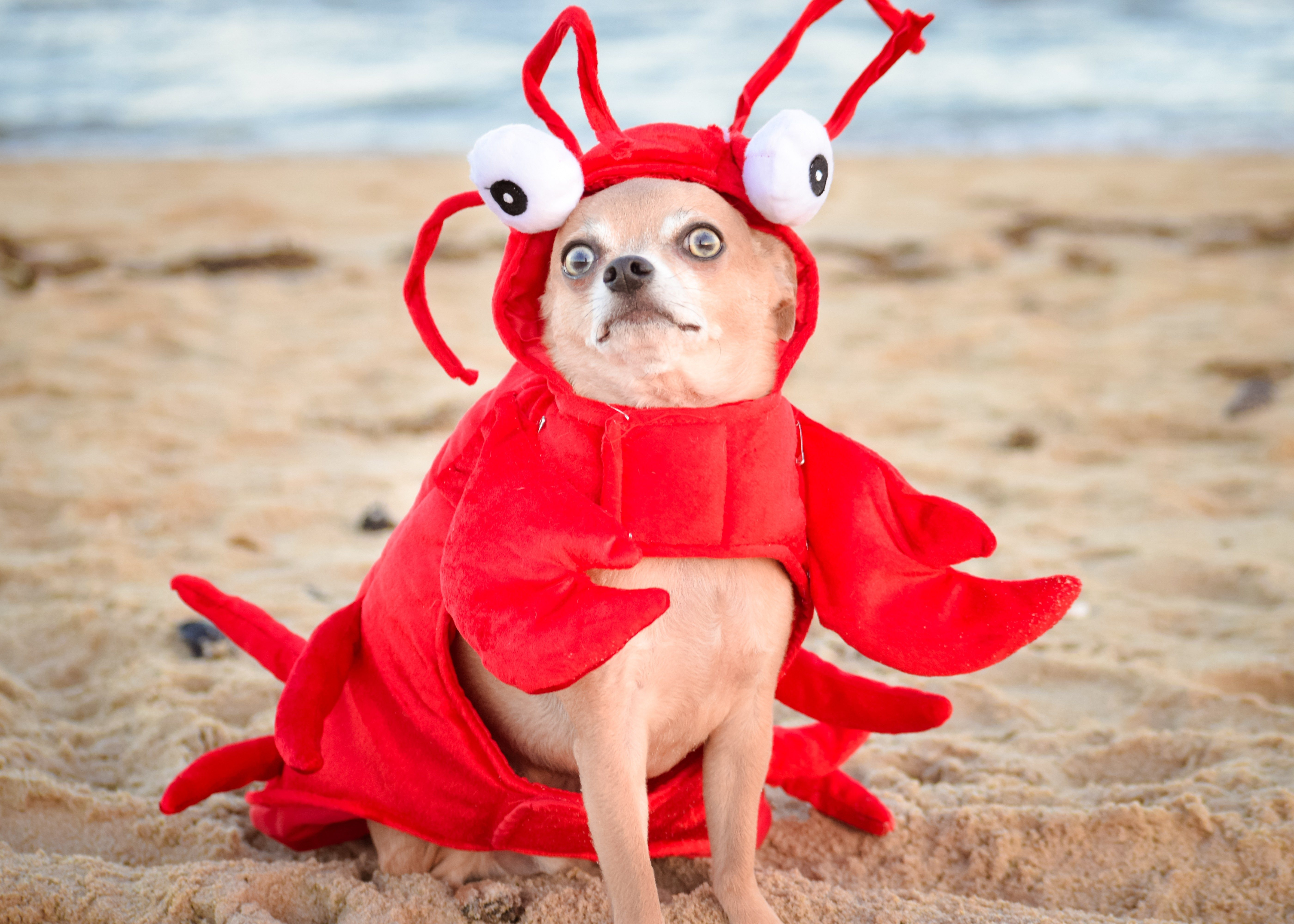 A Chihuahua lobster at the beach.